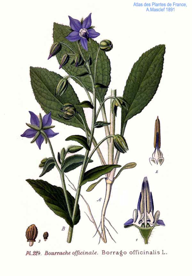 SMALL_Borrago_officinalis_L