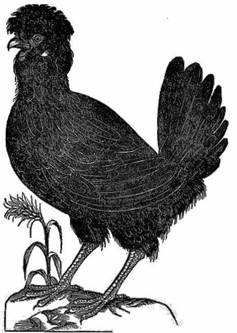 Padovana gallina