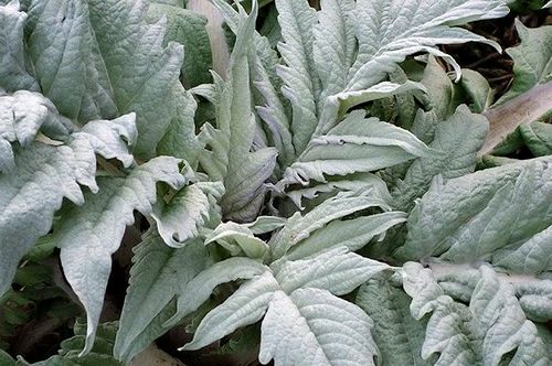 cookitaly.cardoon, italian recipes